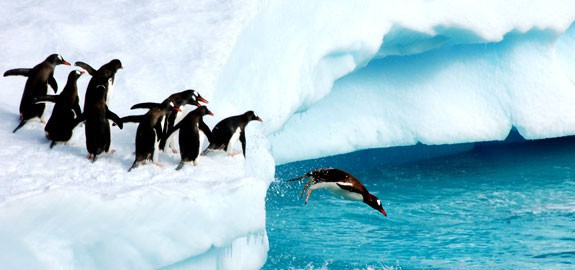 042512_Penguins_are_bad_leaders_575x270-panoramic_15994